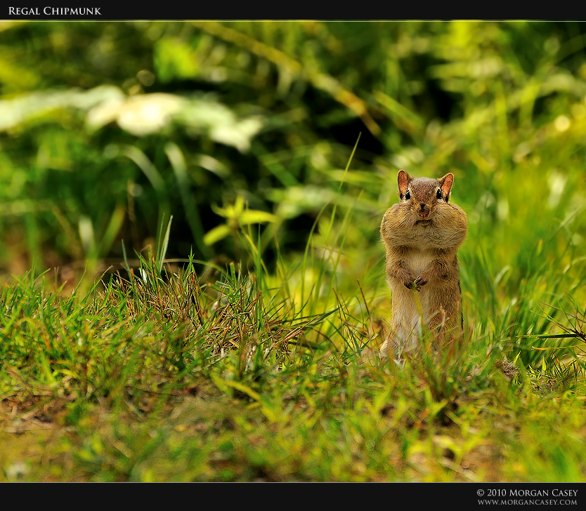 Regal Chipmunk